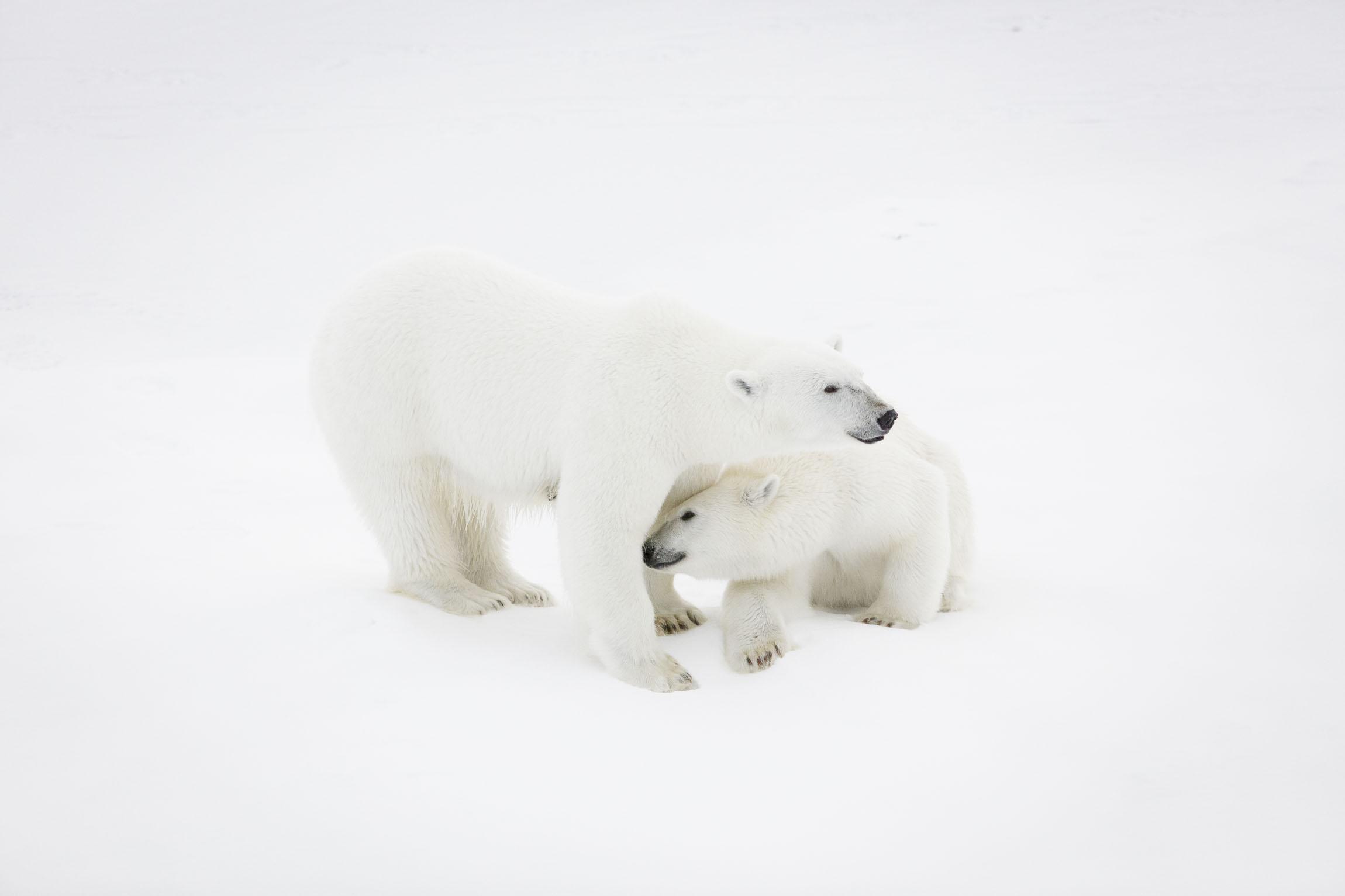 A mother polar bear and her cub on sea ice