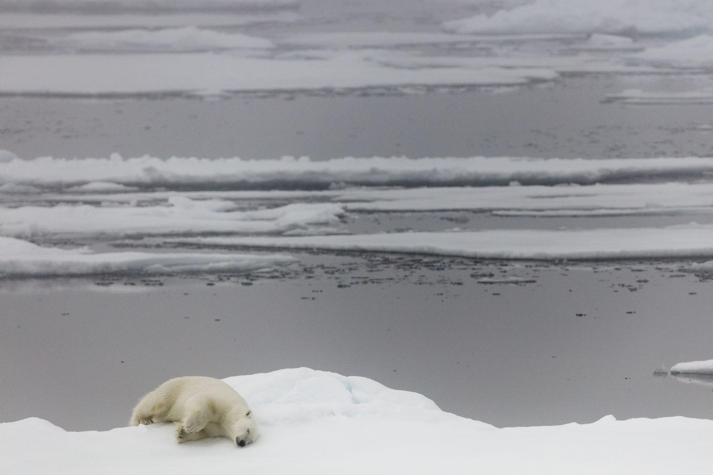 A polar bear sleeps on the edge of an ice floe