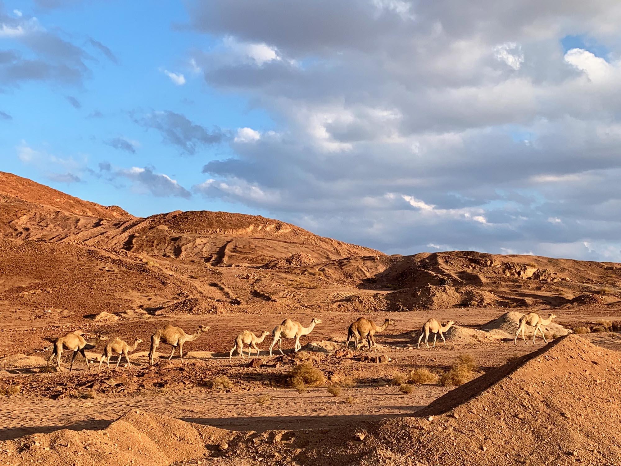 camels-bedouin-craft-sinai.jpg