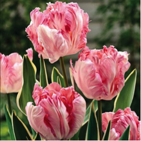 parrot-tulips.png