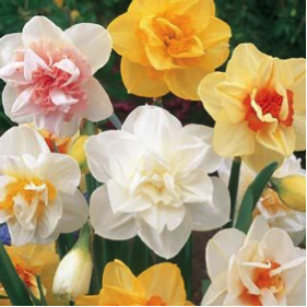 double-daffodils.png