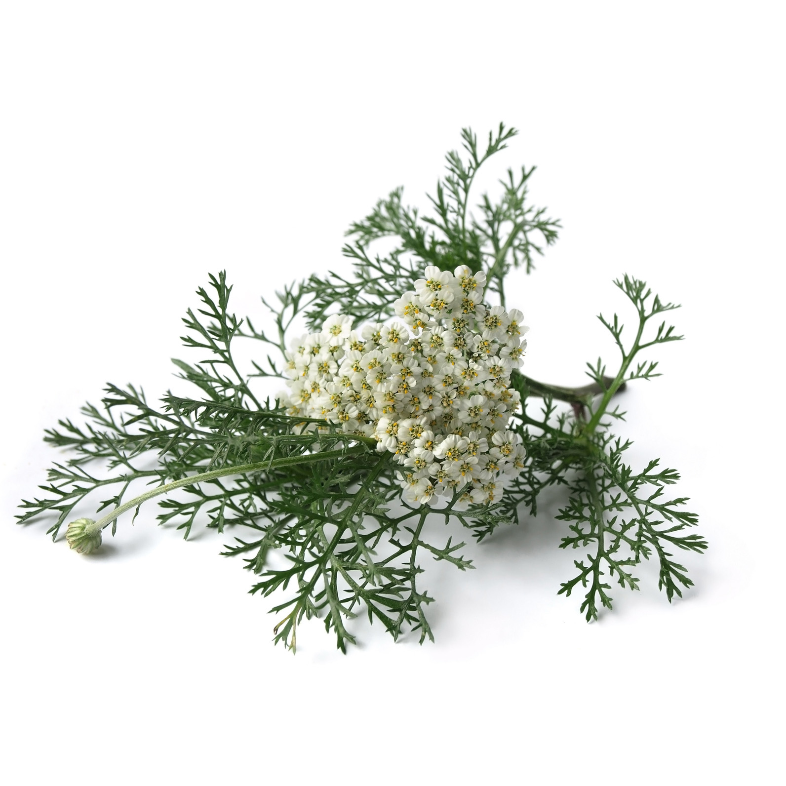 Marsh Rosemary is one of the classic Gruit herbs, used since the Middle Ages in beer brewing. Traditionally used as a remedy for puncture wounds.