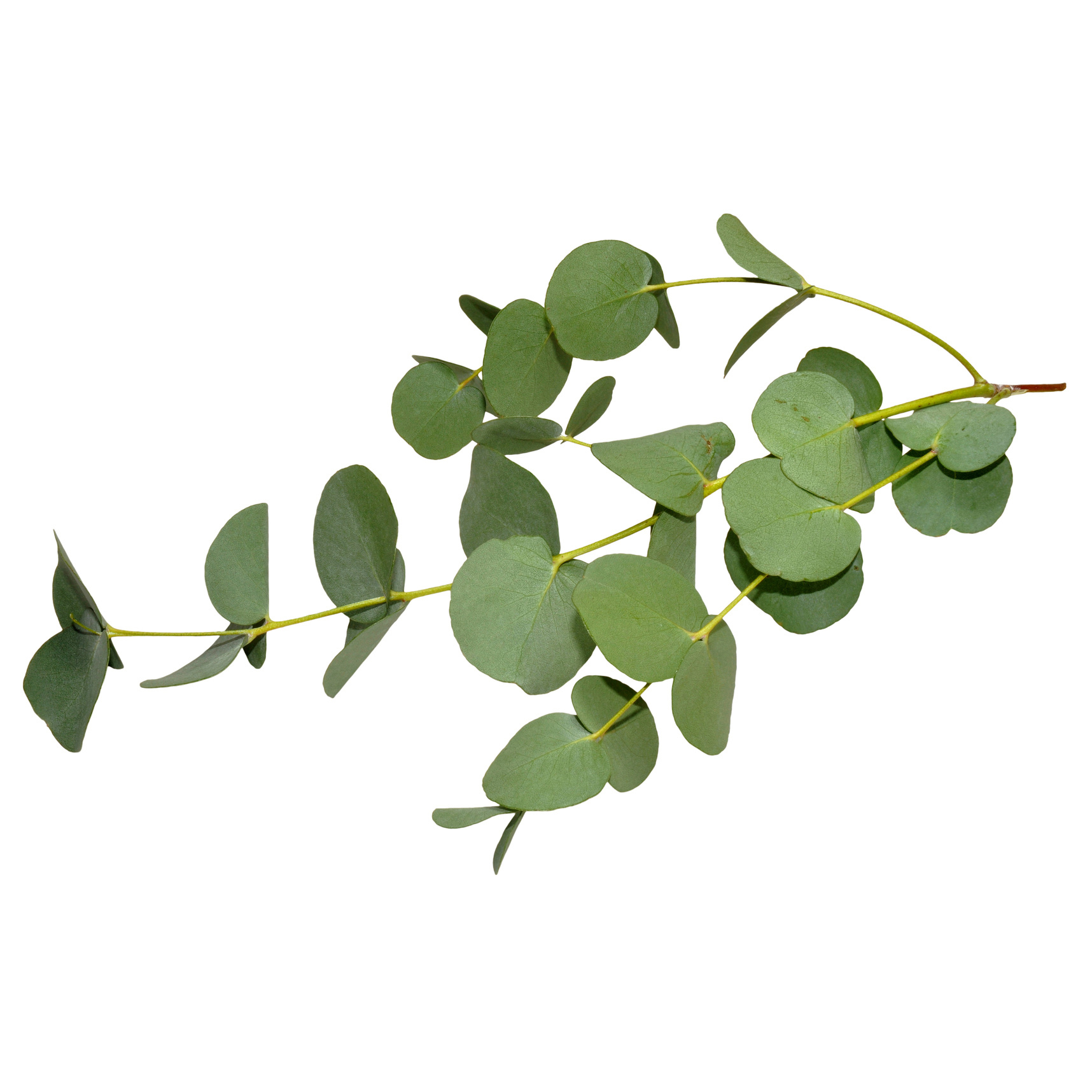 Eucalyptus, an invasive species to CA, is native to Australia. Not a good source of lumber, they are beautiful, some species being delightfully aromatic. The leaves impart a fresh, minty character.