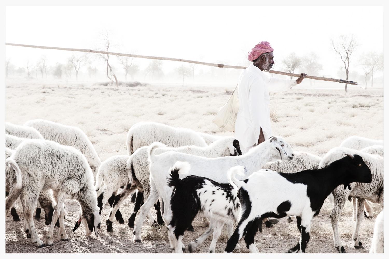Bishnoi shephard, Rajasthan, India
