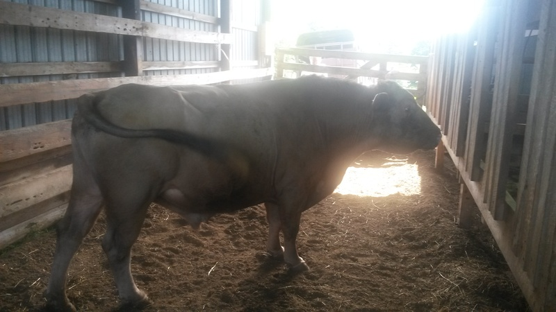 Midnight Scruff - Kyle Skidmore Beefalo- Bison Phenotype Look -- 9 Years Old -- Gentle -- $2,000