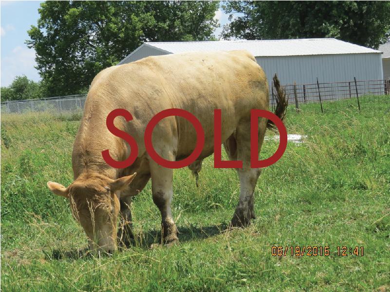 FBF Boone --37.30% Bison (Pure Bred) --DOB: 12/20/14 -- $1800.00
