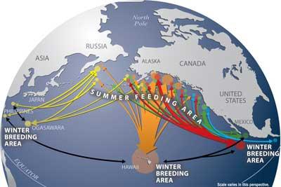 Humpback Whale migration pattern