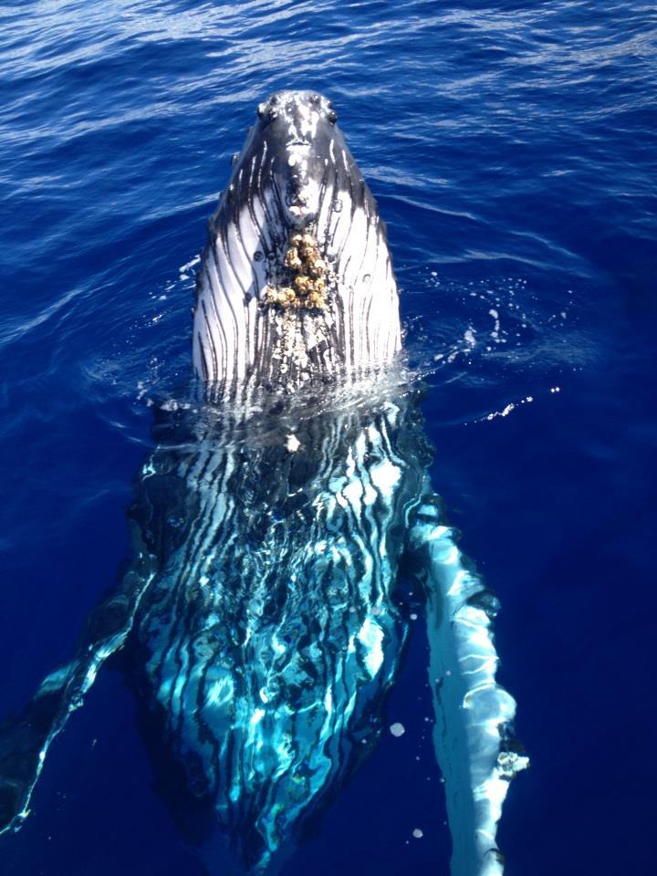 Awa whale