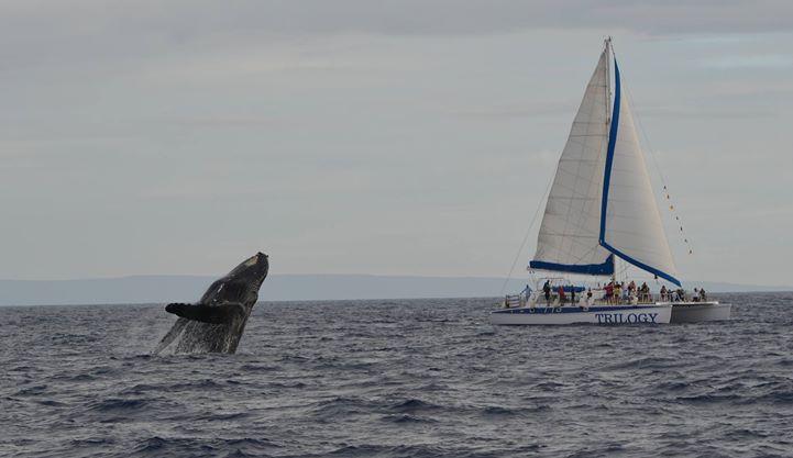 Whale breaching in Maui