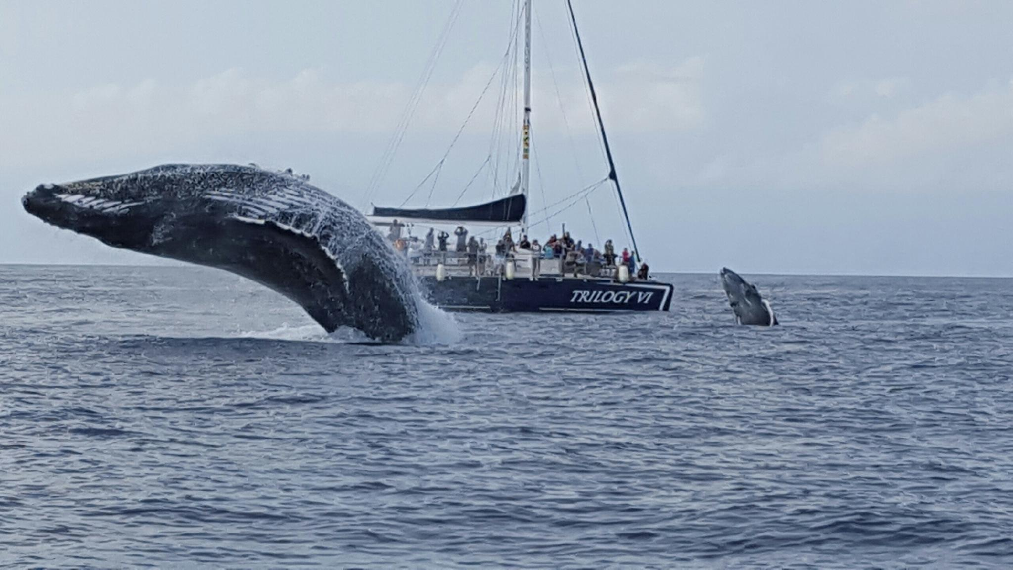 Double Breach on a whale watch in Maui