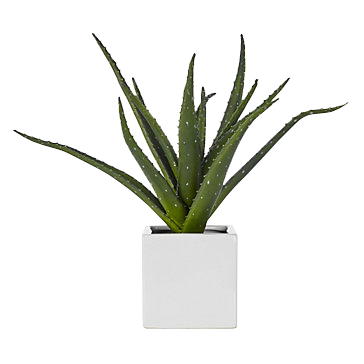 Aloe plant : $35