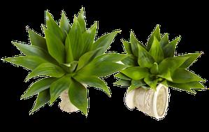 Agave succulent Plant : $89.99