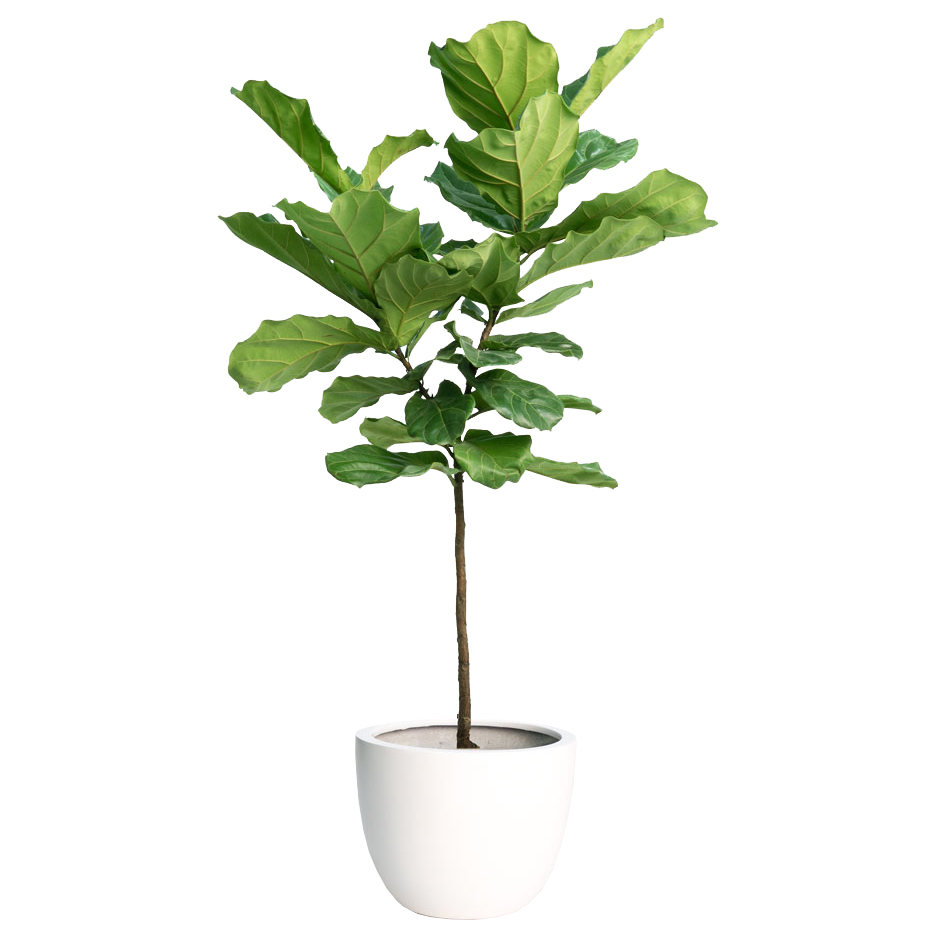faux fiddle leaf fig -