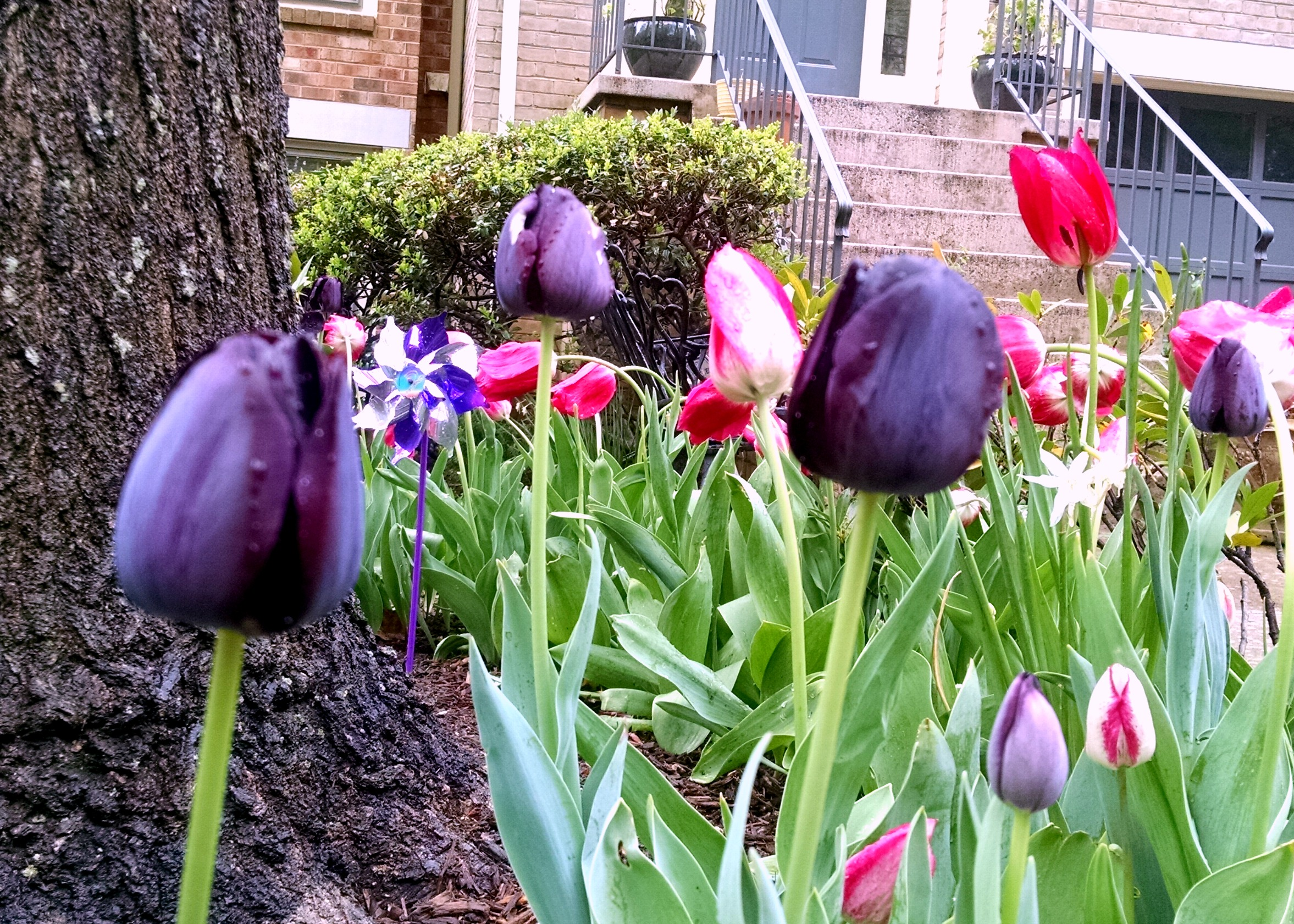 I spotted these tulips during my walk on Saturday. I'd never seen purple ones like these!