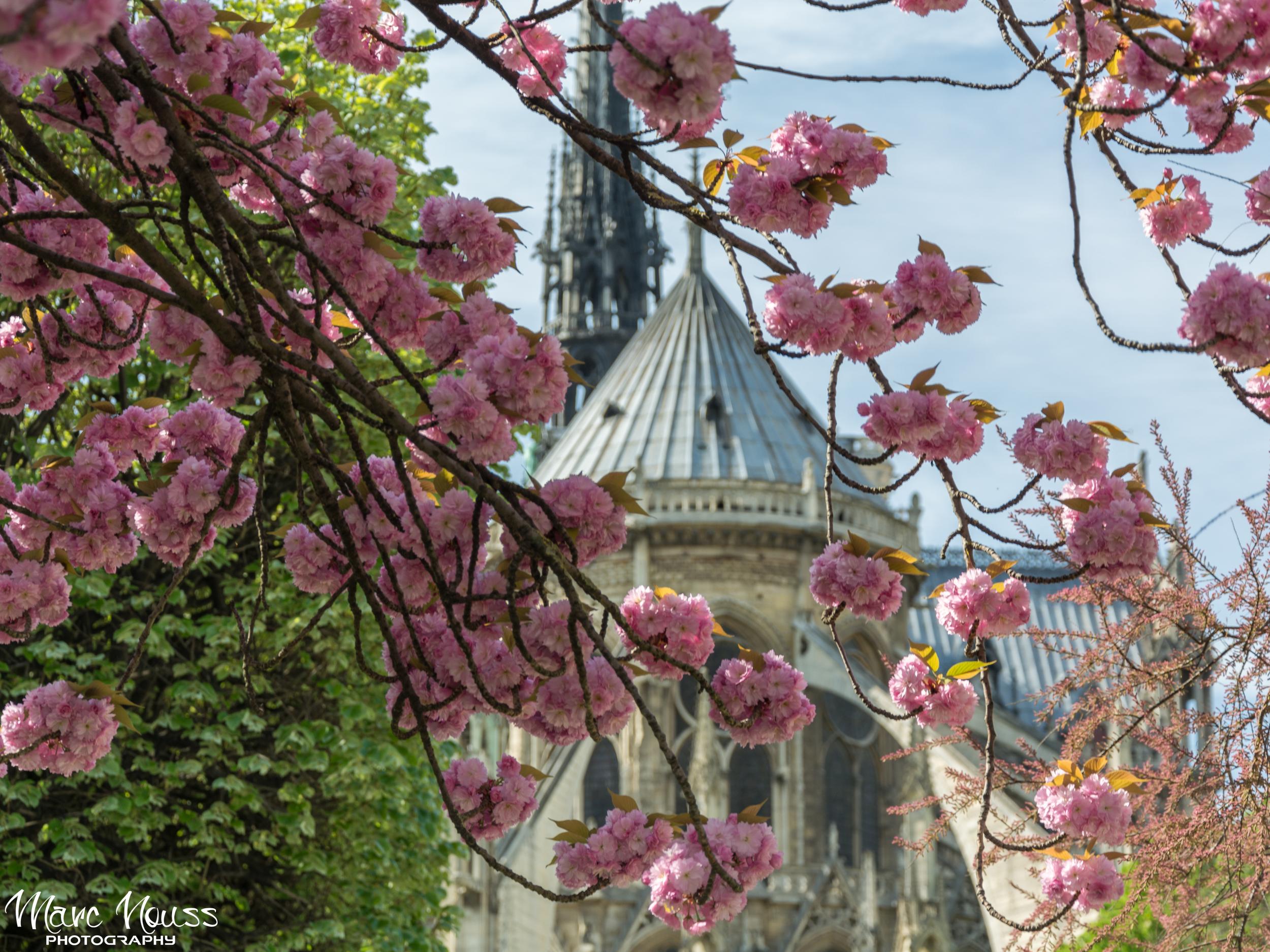 Notre Dame de Paris - Cherry Blossom