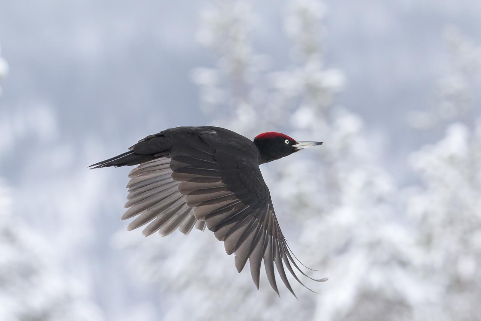 Picus Martius or black woodpecker   Image source: http://finnature.com/birds/bird-photography/woodpeckers/black-woodpecker/