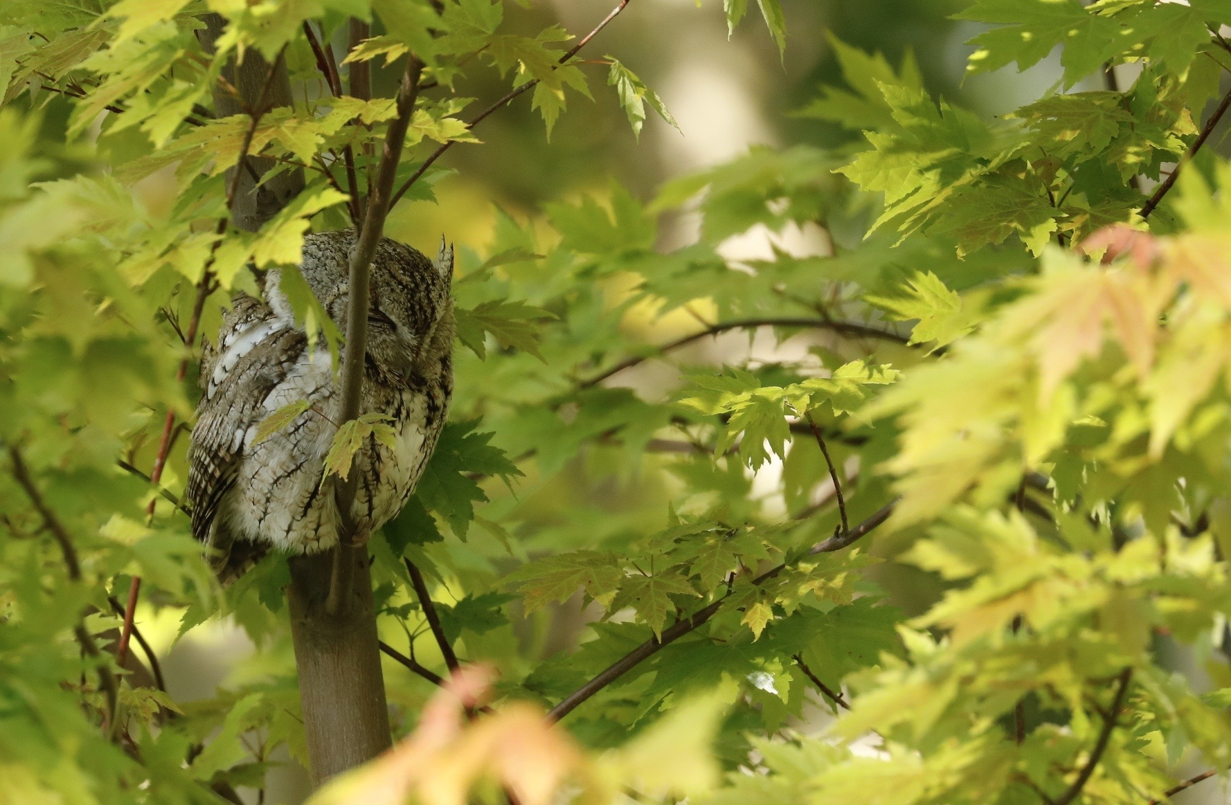 Eastern-screech Owl (Gray phase)