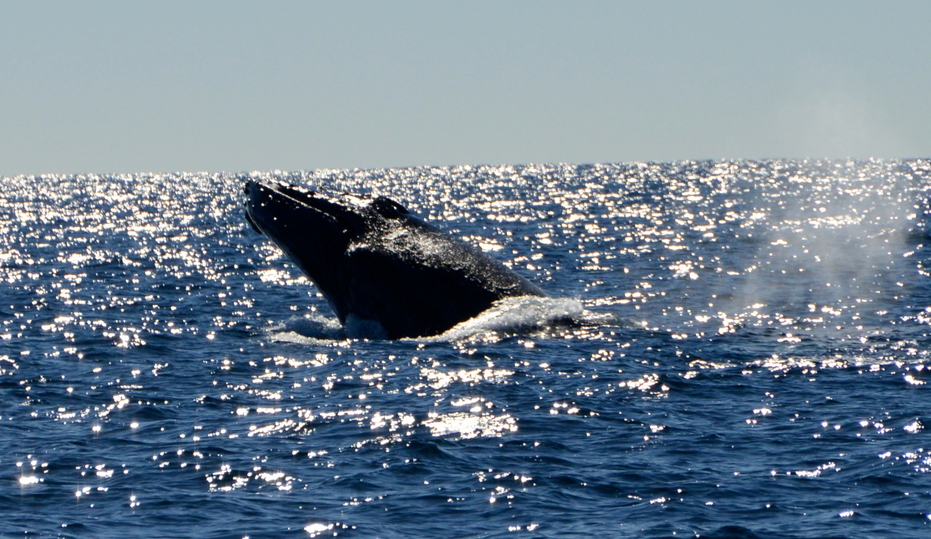 Whale Watching Gold Coast Queensland 9