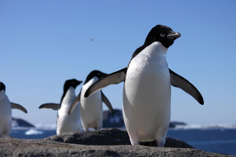 Adelie Penguins on Gardner Island.jpg