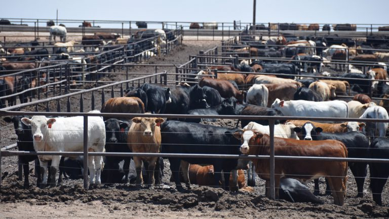 Cattle on a feedlot