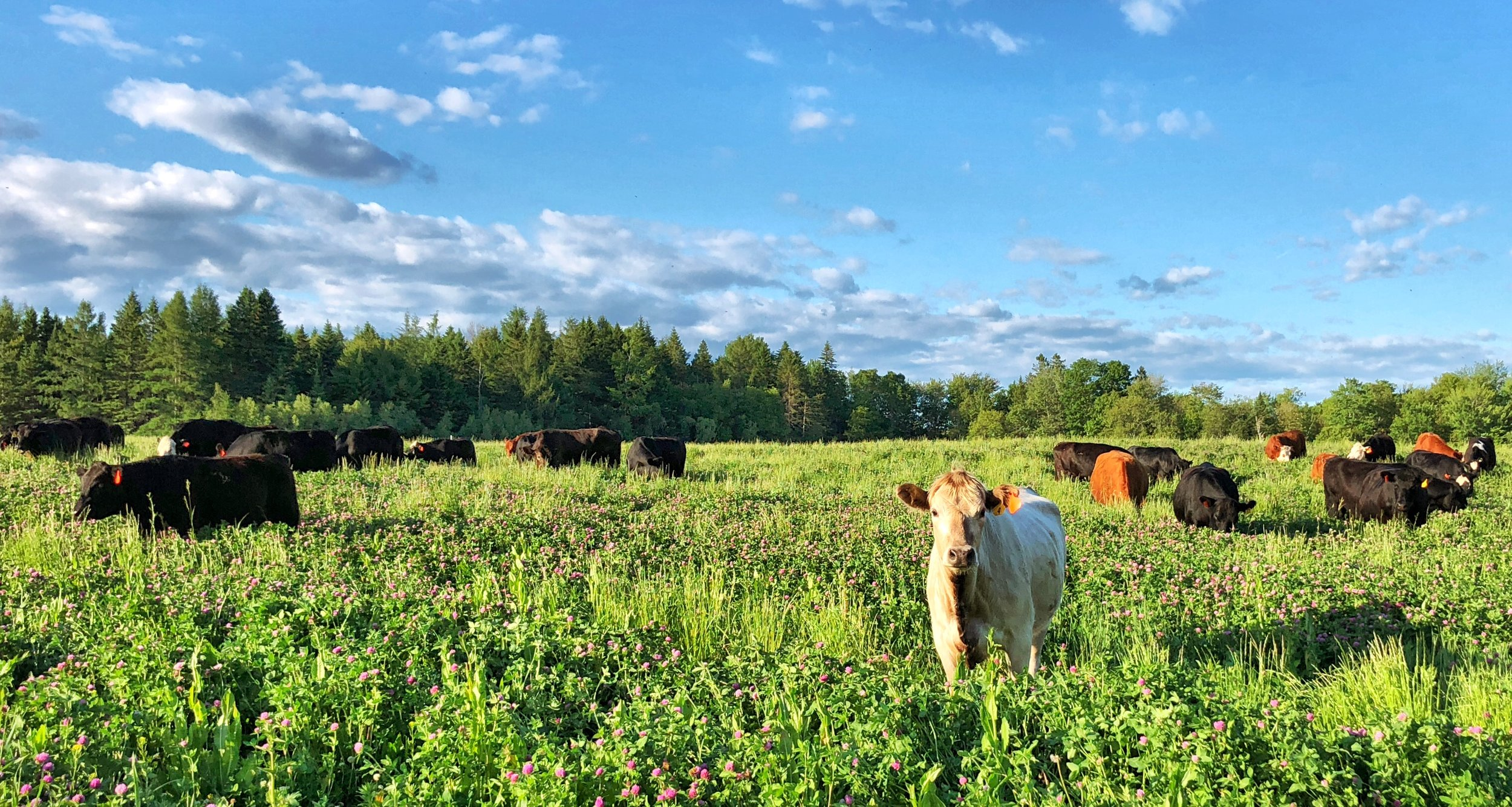 Grass fed beef on our Maine pastures