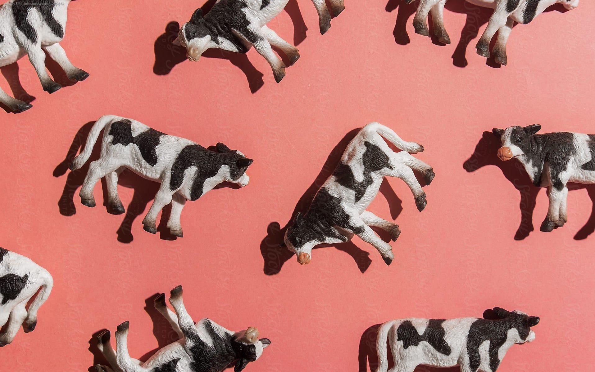 widget cows.jpg