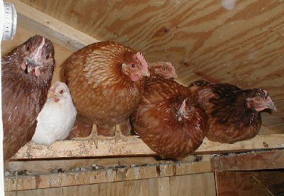 chickens_at_roost_sm.jpg