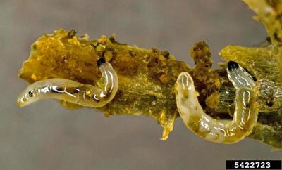 Fungus Gnat Larvae Eating Root