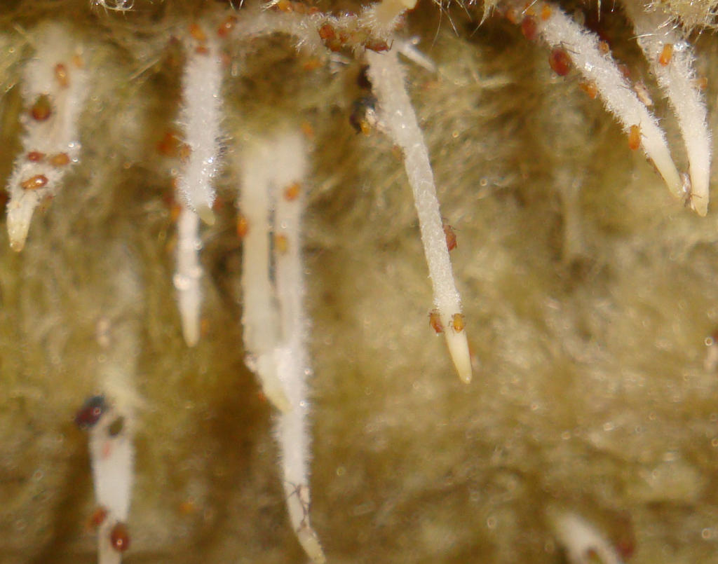 Root Aphids on Rockwool
