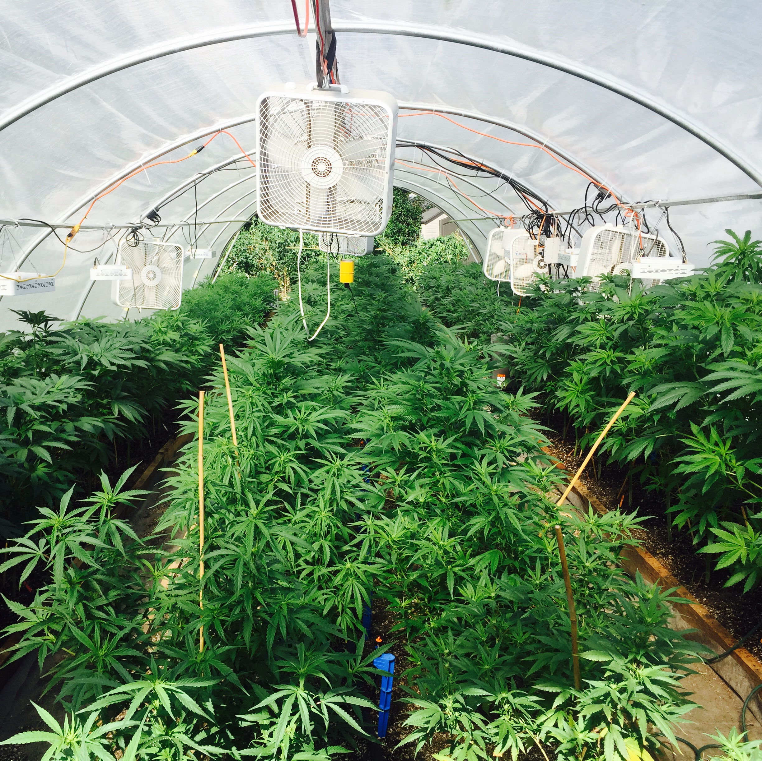 Vegetative Plants in Soil Beds  (Photo courtesy of Cannabis Horticultural Association)