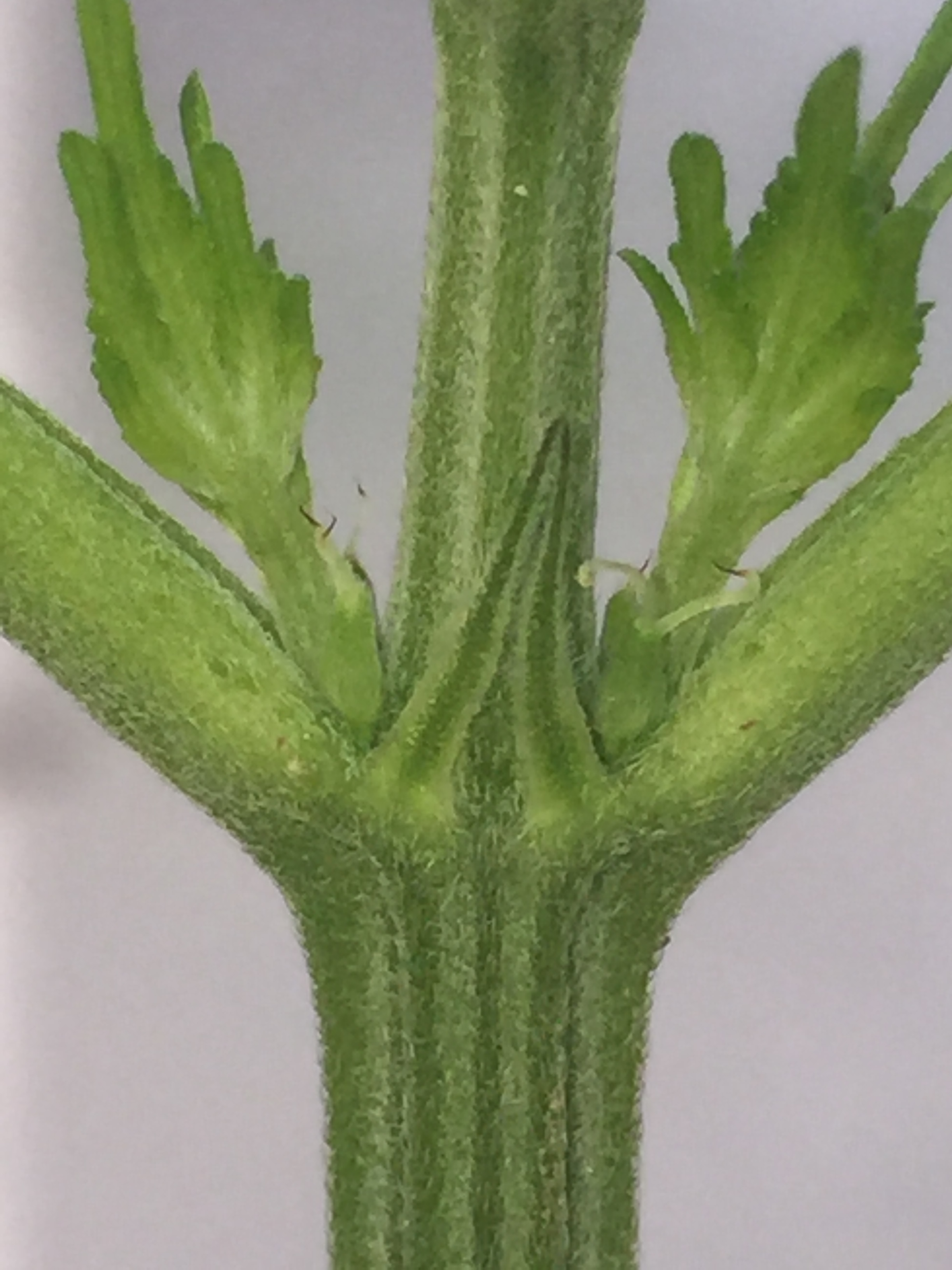 Female Plant  (Photo Courtesy of the Cannabis Horticultural Association)