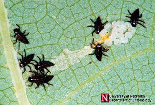 Newly hatched lady beetle larvae. Photograph by Jim Kalisch, University of Nebraska, Lincoln.