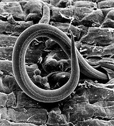 Phytoparasitic Root Knot Nematode