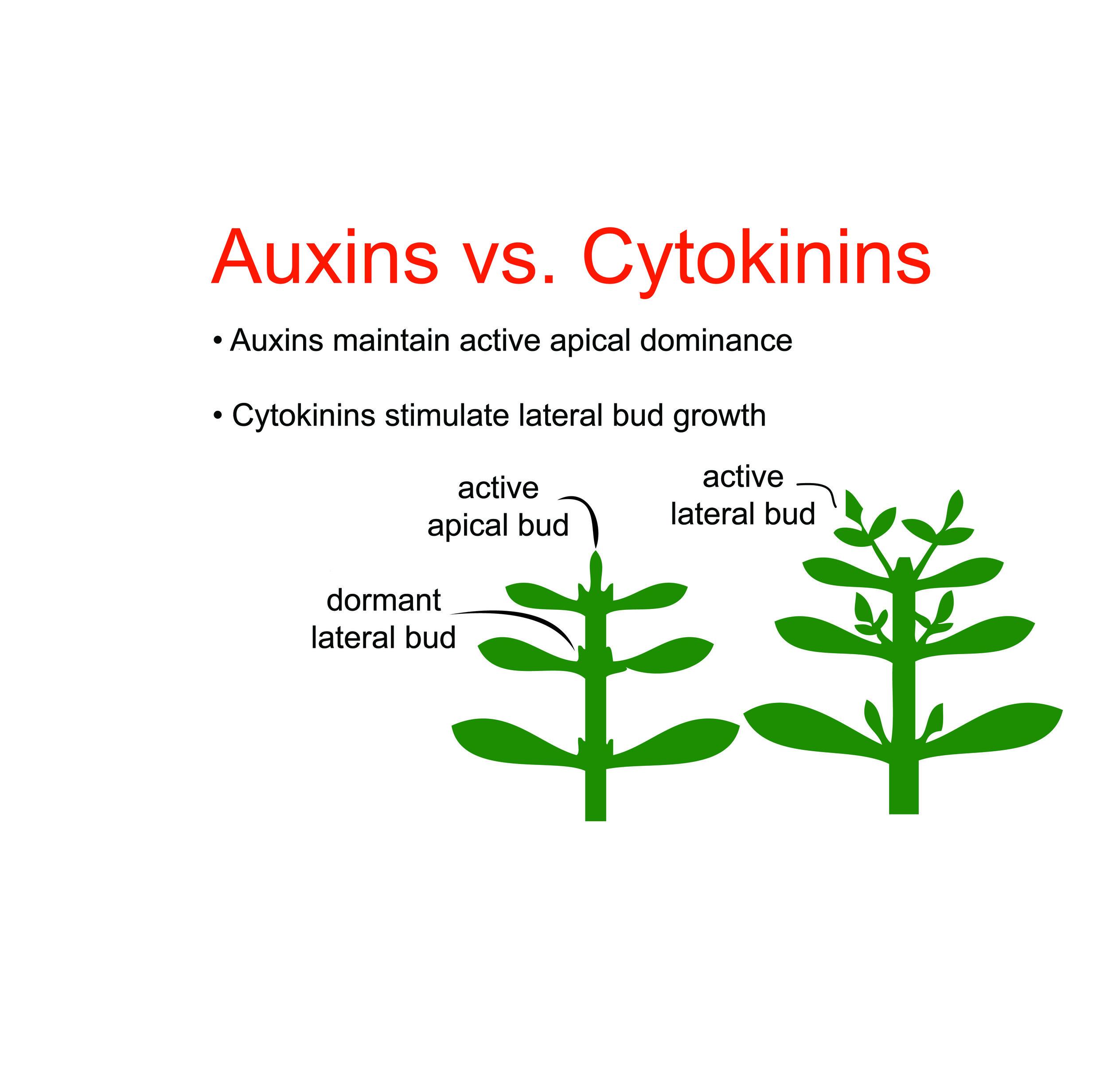 Auxin_Cytokinin.jpg