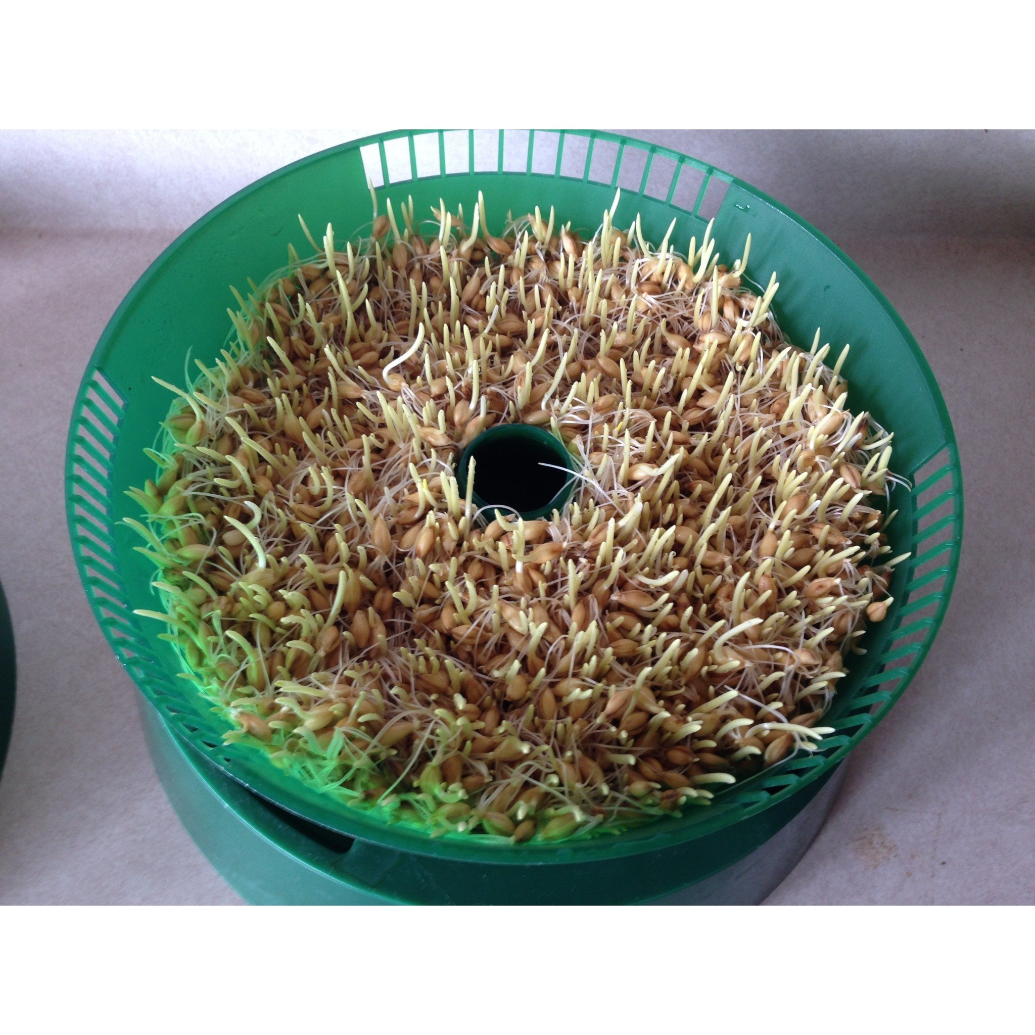 Barley Sprouts - Photo courtesy of Buildasoil