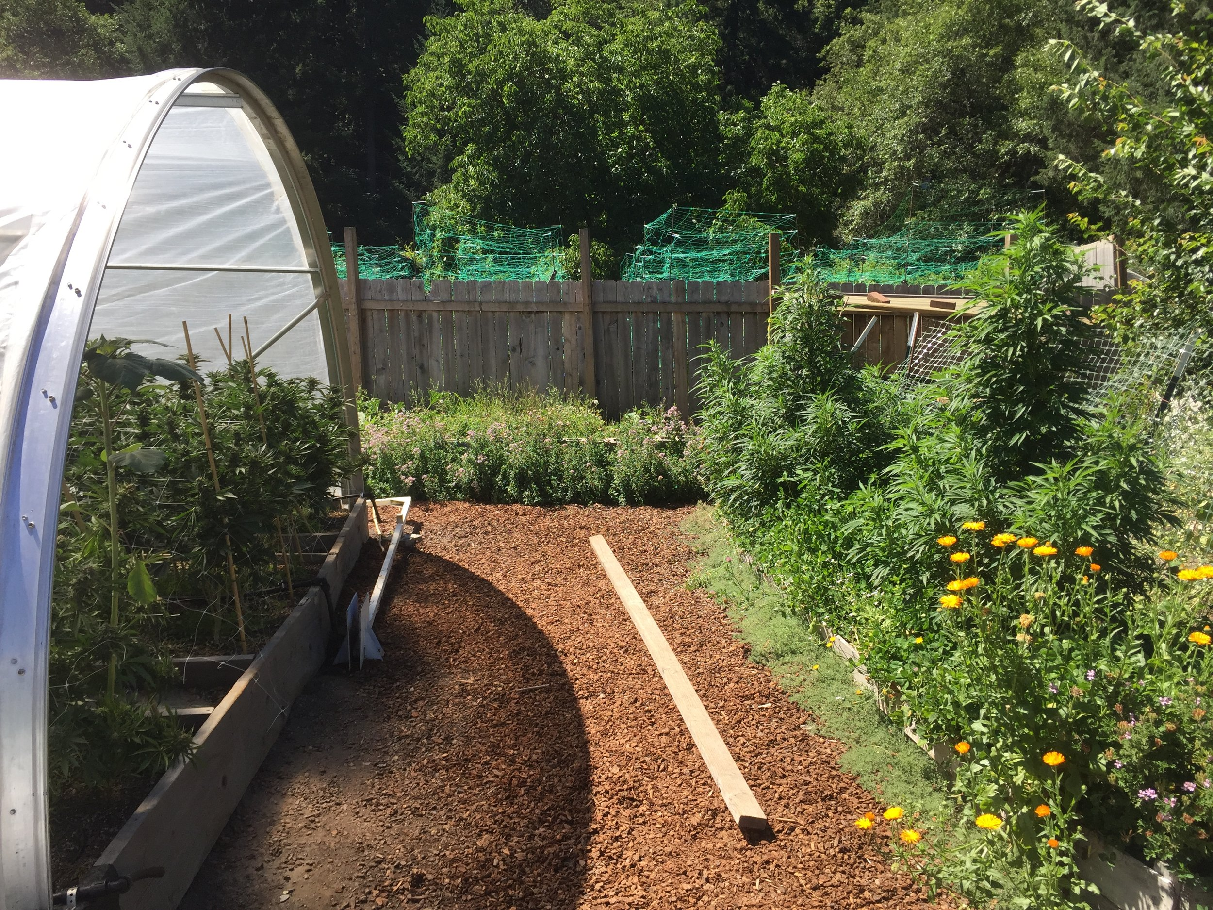 This small farm exemplifies the model of permaculture for cannabis. Borders of oregano and ground thyme provide natural pest repellents and intercropped flowering companion plants provide habitat for beneficials.