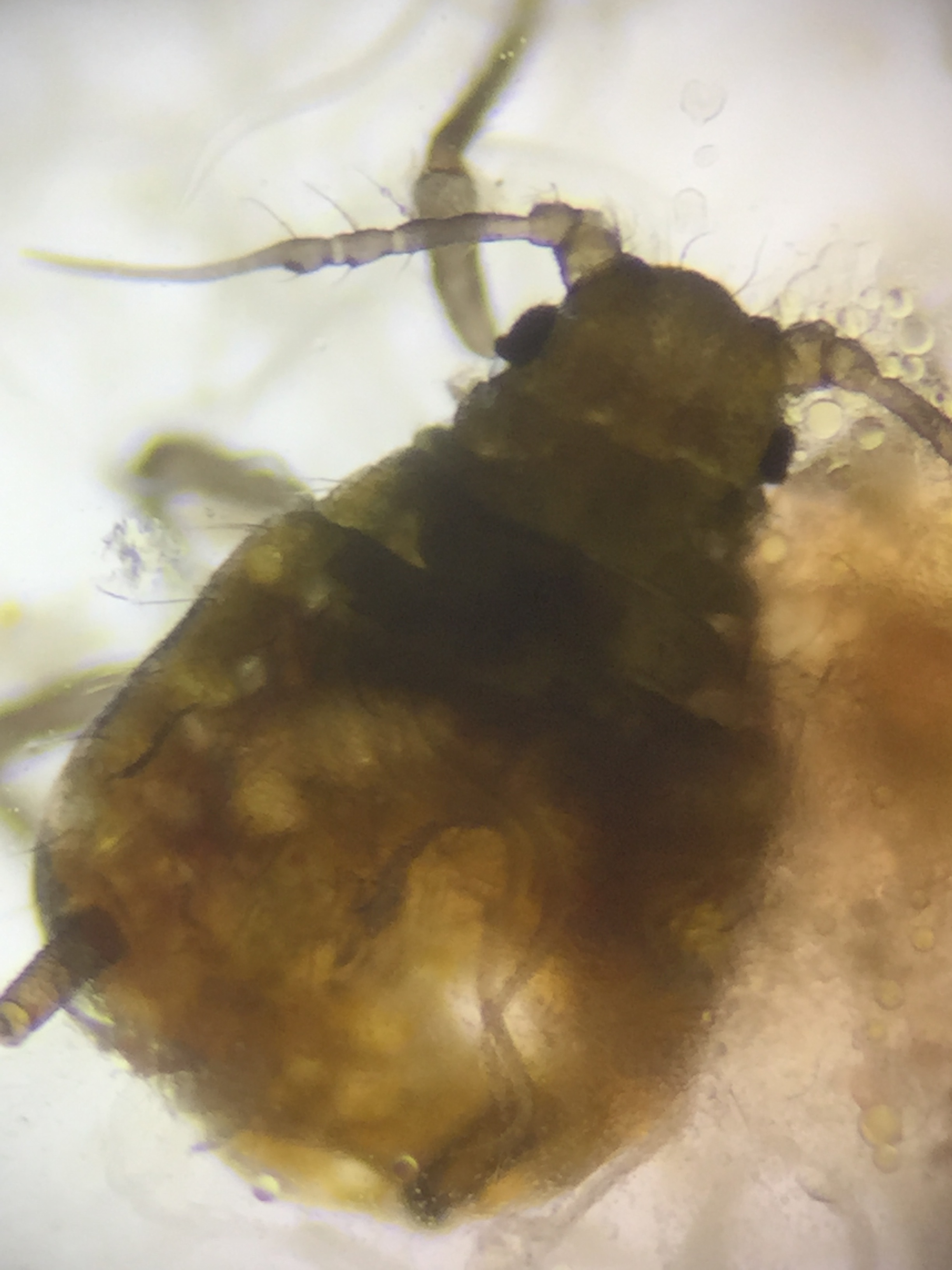 Upon puncturing the thorax of the root aphid, the nematodes engulfed the cavity.