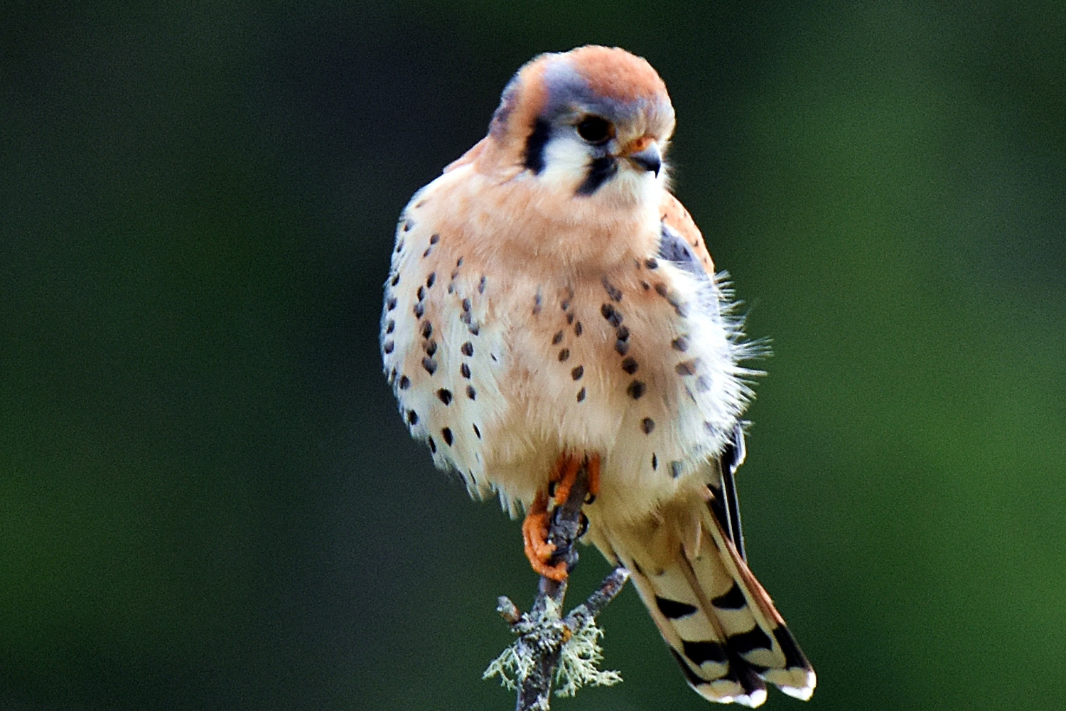 AN AMERICAN KESTREL perches on a branch in Piercy. (Talia Rose)