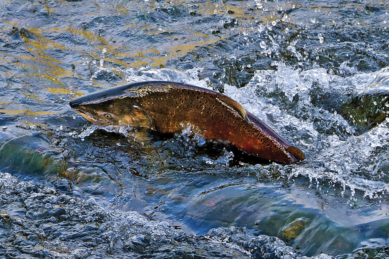 A CHINOOK SALMON swims up the South Fork of the Eel River at Piercy last November. (Talia Rose)