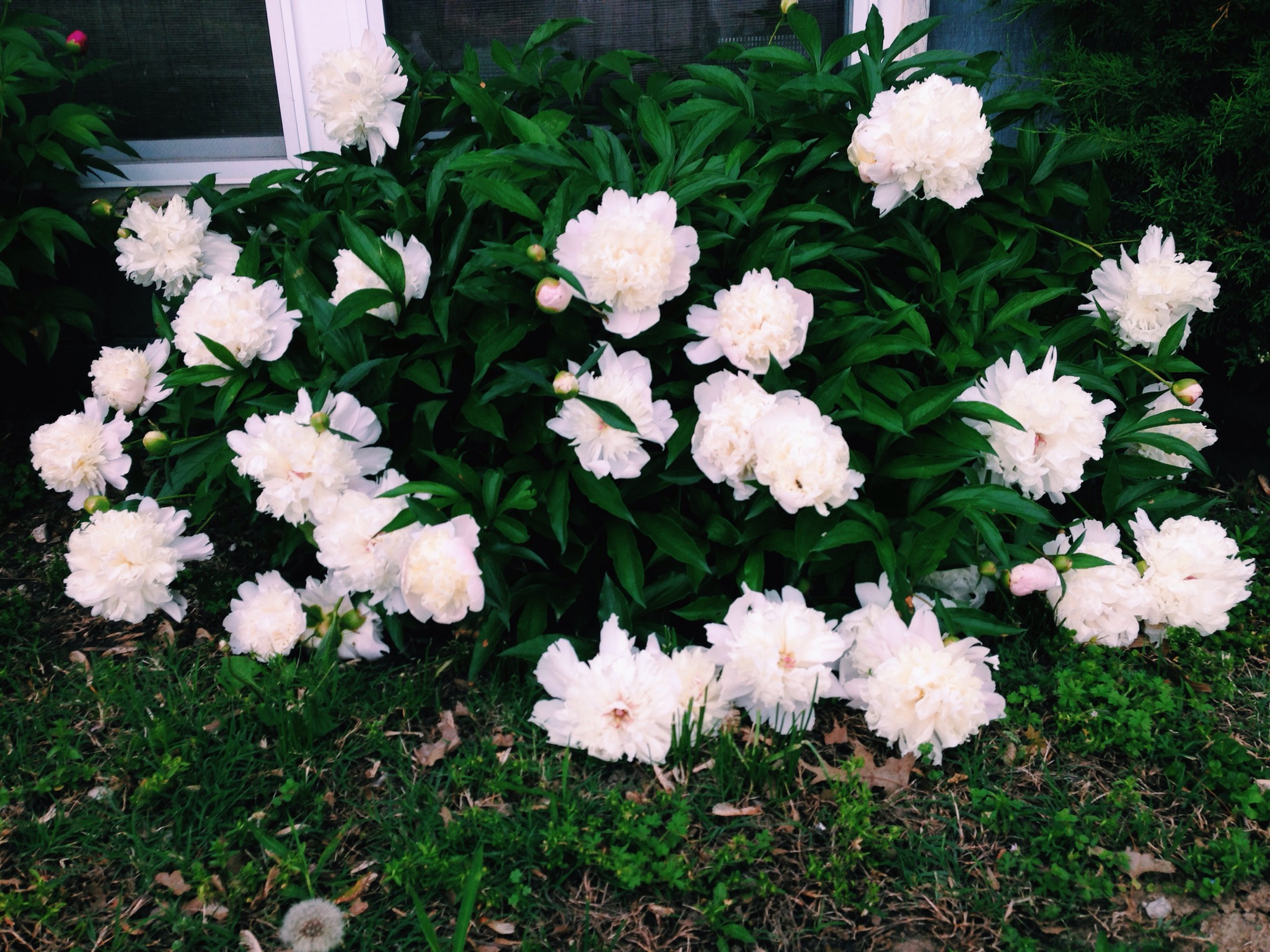 The peony bushes at my Grandma's house have my heart!