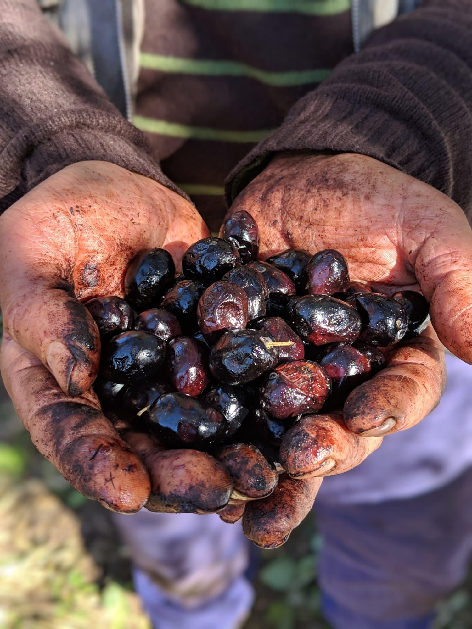 olives (1).jpg