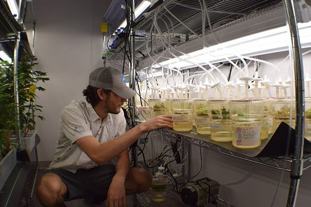 Curious about the future of cannabis genetics and where we're headed? Please vote for ebbu's #SXSW 2019 panel! Link in bio.  Photo info: Here's Jordan Gravage, genetics field technician, examining plant tissue cultures. Each of the containers houses small pieces of living hemp; we culture them with different hormones. Tissue cultures provide an exact genetic copy of a plant, and are an important part of ebbu's genetics research and plant development. 📸: Jami Carney . #genetics #cannabis #hemp #research #development #rnd #poweredbyebbu #cuttingedge