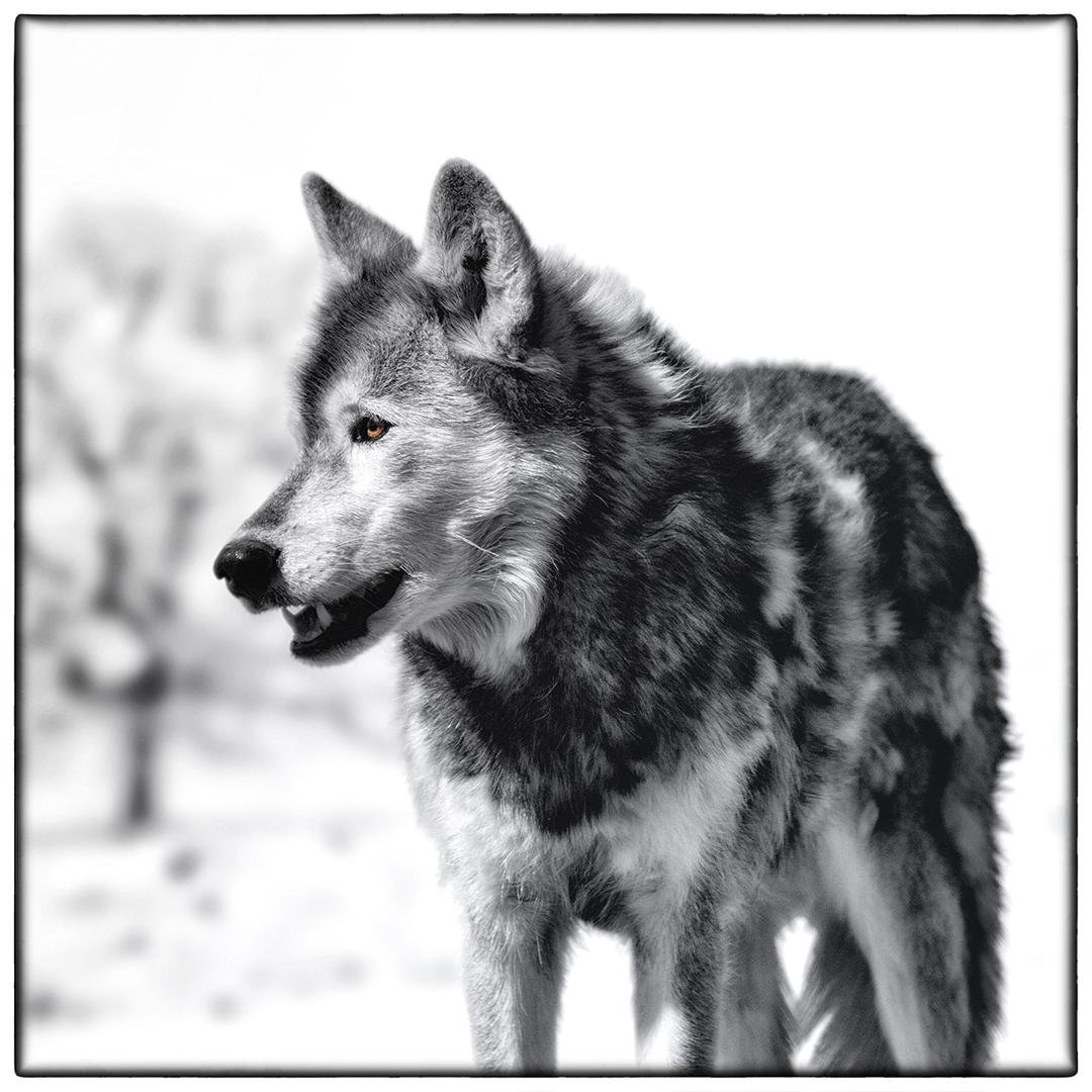 Snow-Wolf