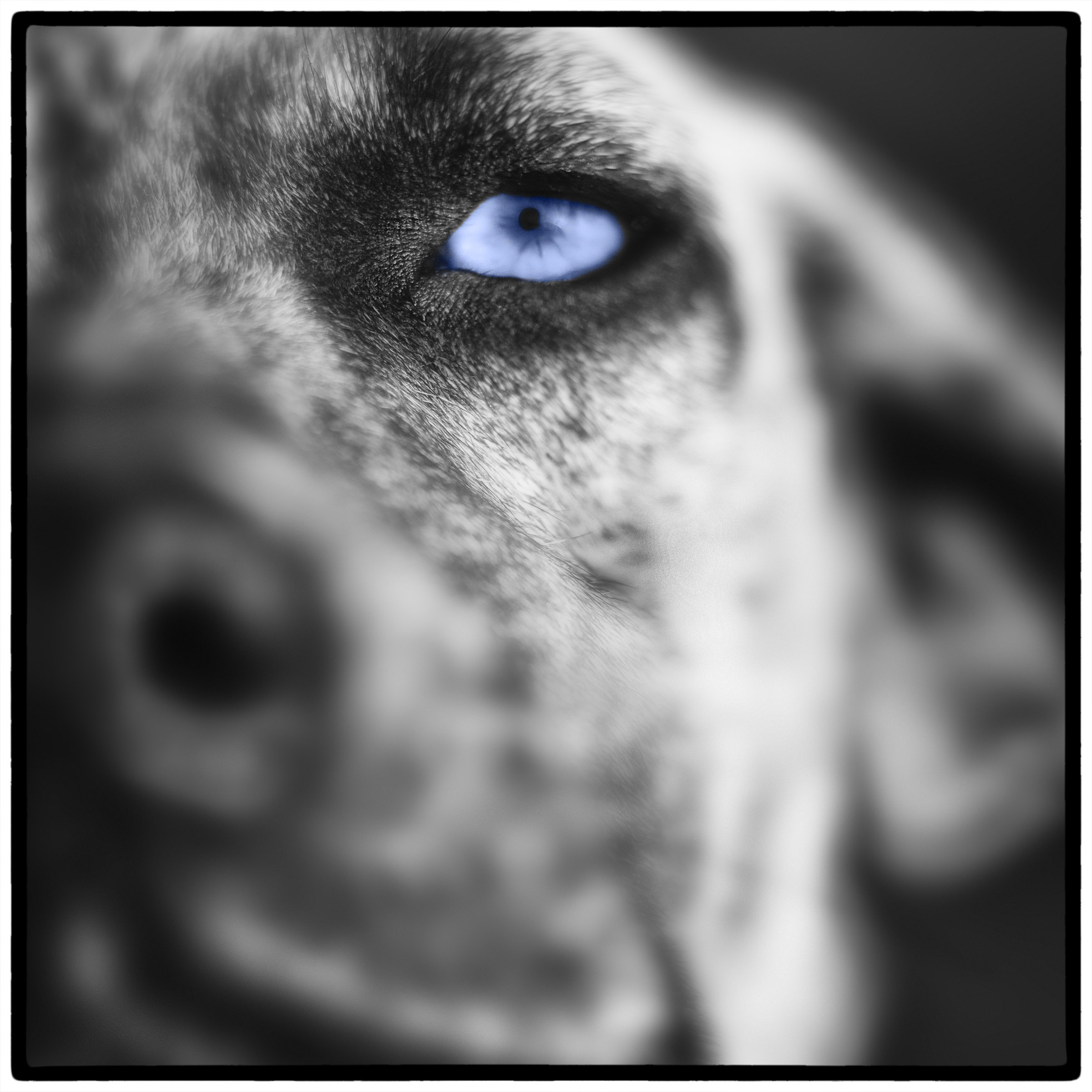 Blue Eye Dog