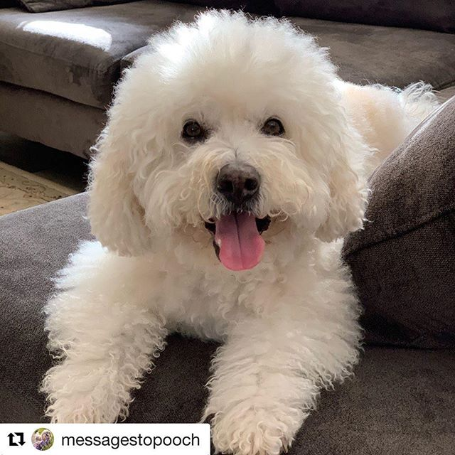 #Repost @messagestopooch with @get_repost ・・・ Harley passed away on March 27 at 12:40 am. He crossed the rainbow bridge peacefully surrounded by our entire family. And in true Harley style, Harley's face was beaming with a smile throughout. What a brave boy.  We were not expecting this news. An ultrasound showed that Harley had many tumors on his liver that were so large that they were bleeding out. Harley was bleeding internally into his abdominal cavity and he was beyond help.  After taking Harley home for final goodbyes, my kids, my sweet kids, bravely accompanied me and Fadi along with Molly and Houdini back to the ER where Harley was to be eased over the rainbow bridge. As much as they didn't want to see Harley go, they wanted to be by his side as he crossed the bridge. During our time before the euthanasia, Harley in his true fashion, was smiling from ear to ear. His smile did not wane. And when we had tears, Harley licked our tears away and continued to smile. Harley kissed each and every one of us goodbye. And as he lay in my lap surrounded by the kids who adored him, Harley crossed over the rainbow bridge very peacefully and quickly. I pray that Pooch and all of our dog-angel friends met our sweet Harley at heavens gate. Our hearts are forever broken but forever grateful for this special boy.