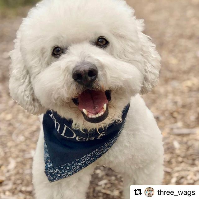 "Check out this special tribute to Harley over at our friends's page #Repost @three_wags with @get_repost ・・・ Feature Friday - This week's feature is a very special Canadian boy.  His name is:⁣⠀ H⁣⠀ A⁣⠀ R⁣⠀ L⁣⠀ E⁣⠀ Y⁣⠀ Harley and a cockapoo, Molly, joined Nayla Chamoun and her family as temporary foster dogs when Harley was 9 1/2 years old. They stayed. Nayla wasn't sure how her 16 1/2 yr old dog, Pooch, would react. He loved them. The younger dogs gave Pooch energy and a renewed life.  Pooch had become blind, and Harley always kept him safe on walks. He would give Pooch little nudges to stay on the right path. ⁣⠀ ⁣⠀ Harley became deaf in 2018. This is when Nayla got him an ""I'm Deaf"" bandana. ⁣⠀ ⁣⠀ In Nayla's words,⁣⠀ ⁣⠀ ""I chose to get him the bandana because Harley is a friendly fella, but he barks quite a bit to say hello and to make sure he is seen and acknowledged. I think he feels that because he is deaf, he may be invisible, too, so he wants to make his presence known. This bandana helps others at the park feel less intimidated by his barking, and almost 99% of the time, the people reach down to pet Harley and that makes him feel validated and happy.""⁣⠀ ⁣⠀ ❤️ Harley was always joyful and full of energy. His age and deafness never slowed him down.⁣⠀ ❤️ His bandana was almost like a super hero cape!⁣⠀ On March 27th, Harley passed away. He is missed by this sweet family. I'm glad to know they all have each other.⁣⠀ ⁣⠀ Nayla packed a special keepsake suitcase of Harley's things. What a true honor I felt when I saw that his super hero cape bandana was included. ""Every item in the suitcase tells a story,"" she said. ⁣⠀ ⁣⠀ I wanted to honor this precious boy by sharing his story. I've included several photos. The stories of Pooch, Harley and friends live on through the photos and words of Nayla.⁣⠀ 📷 Courtesy of @messagestopoochphotography and @messagestopooch. ⁣⠀ .⁣⠀ .⁣⠀ .⁣⠀ .⁣⠀ .⁣⠀ #rescuedwithlove #featurefriday #dogsarefamily #dogsofcanada #liveyourbestlife #adogslife #threewags #everydogeveryday #dogoftheday #rescuedandloved #deafdogsrock #bichons #bichonsofinstagram #rainbowbridge #SpeciallyAbledPetsDay"