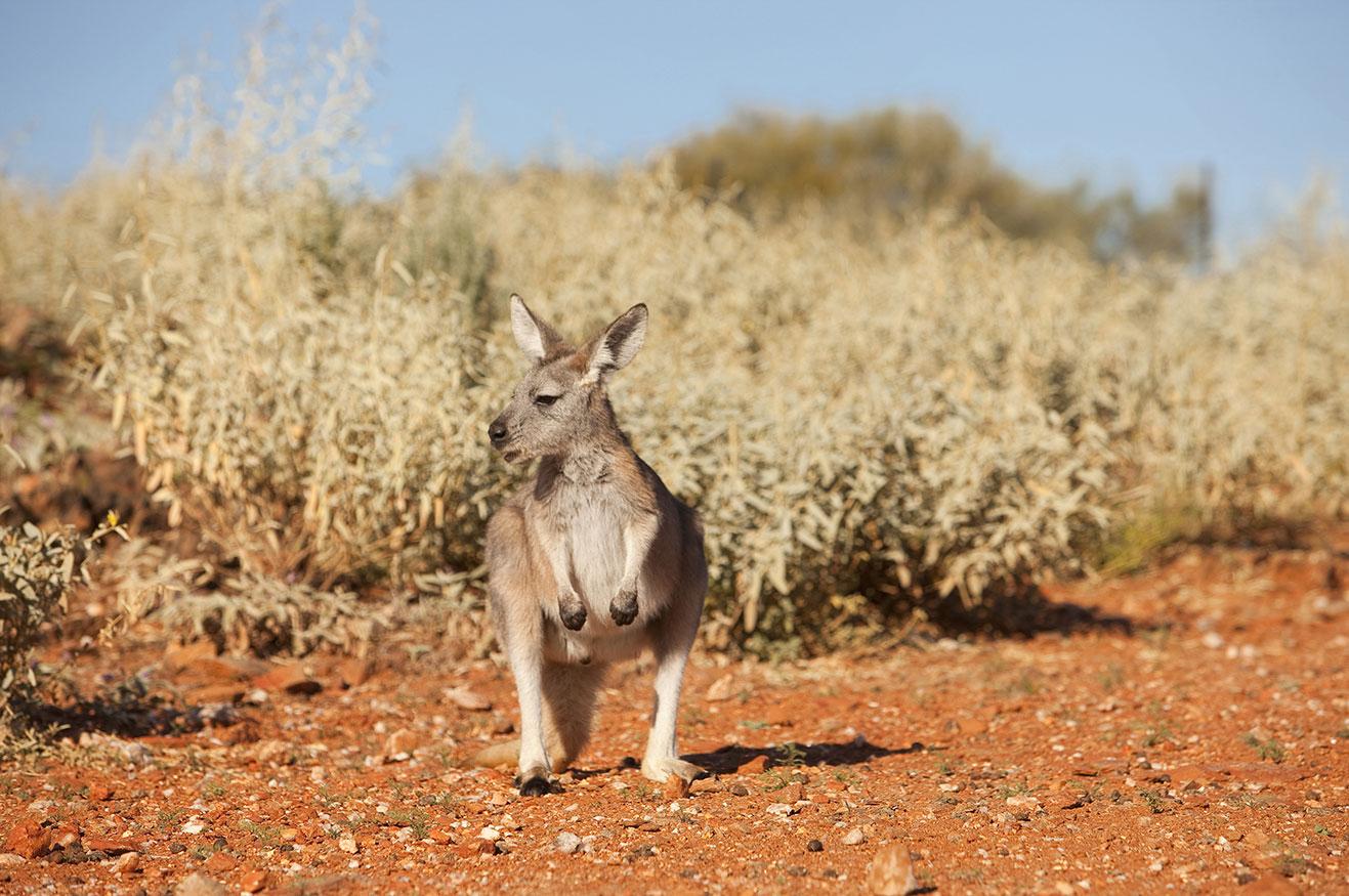 Kangaroo, Living Desert Sanctuary