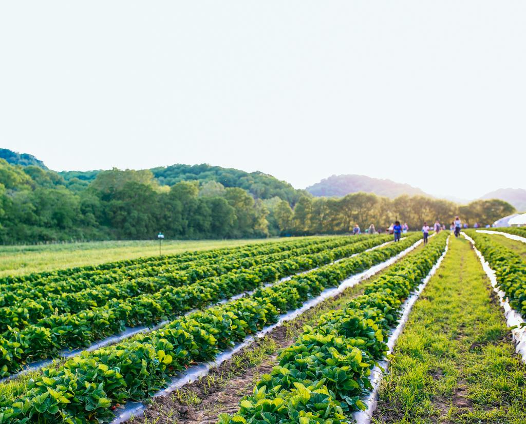 Strawberry_Picking_Green_Door_Gourmet