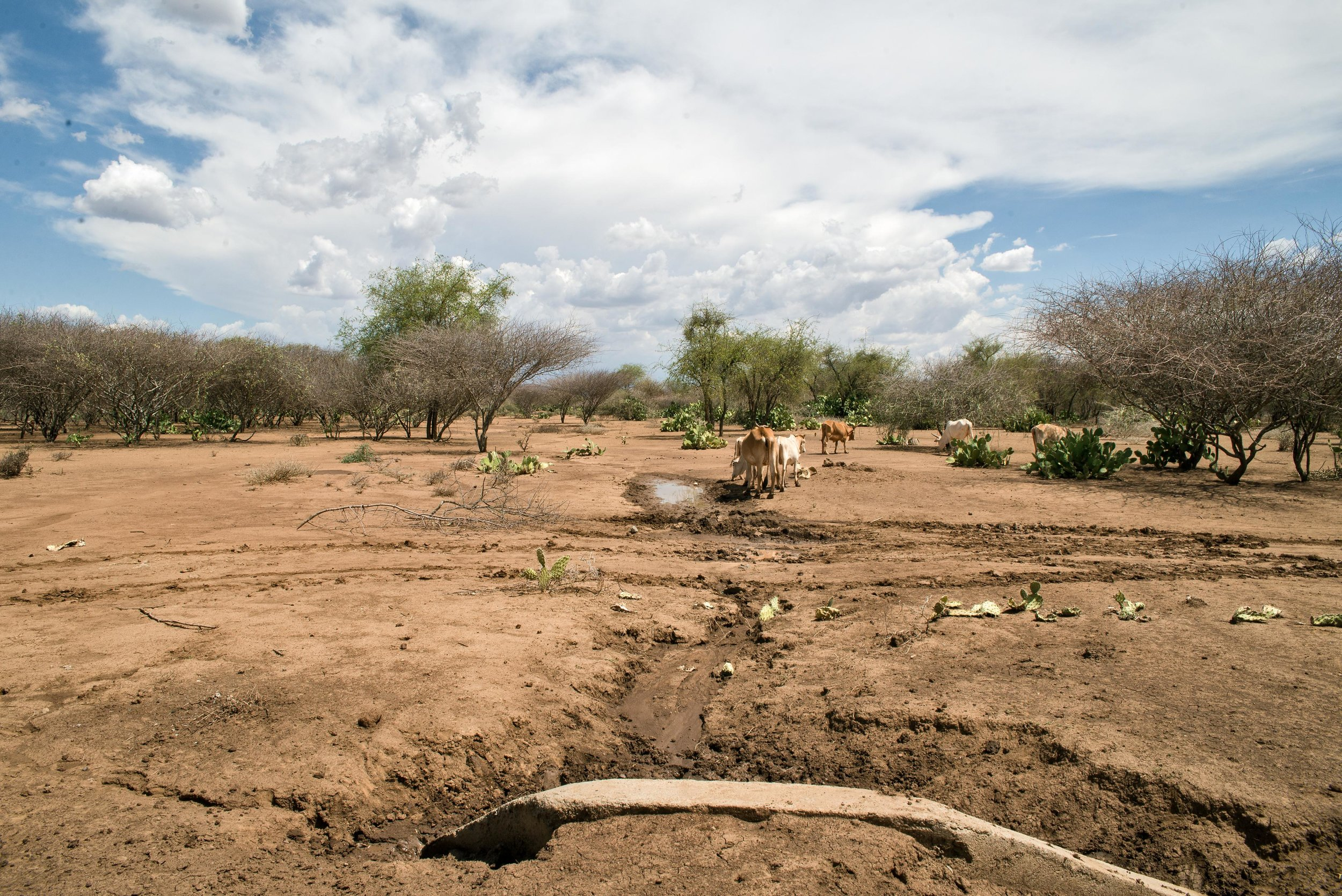 """Cows graze on barren land in Baringo County, Kenya. The only thing that grows here are clusters of blooming cactus """"and even those are getting dry,"""" said Samuel Mwaura with Childcare Worldwide. """"That's when you know the situation is out of hand."""""""