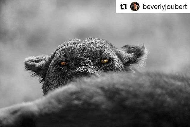 #Repost @beverlyjoubert ・・・ Staring straight into the amber eyes of a lion will always awaken a part of me that knows instinctively that I am not the true predator here. And yet - people's amazing ability with tools and intelligence has made our species stronger by far and we are outcompeting every other predator on the planet. Lions are iconic - strong and proud and symbols of power throughout the  world. But there are now more statues of lions in the world than there are real lions. Only around 20 000 remain, scattered in ever-smaller patches of wilderness. It's worth noting this decline this #WorldLionDay but also noting that we have the ability to halt and reverse it when we put our minds to it. Nine years ago, together with @dereckjoubert, and National Geographic, we set up the Big Cats Initiative as a long-term effort to halt the declineof big cats in the wild. The initiative supports efforts to save big cats through assessment, on-the-ground conservation, education, and global public-awareness campaigns. To date, this has supported more than 110 innovative projects in 28 countries that are helping big cats and communities thrive - all working to keep these wild eyes alight across Africa, ready to pierce our souls with the truth about who we really are. To learn more about the #BigCatsInitiative or to help, please visit natgeo.org/bigcats. #bigcatconservation #WorldLionDay2018 #CauseAnUproar #TheEyesHaveIt